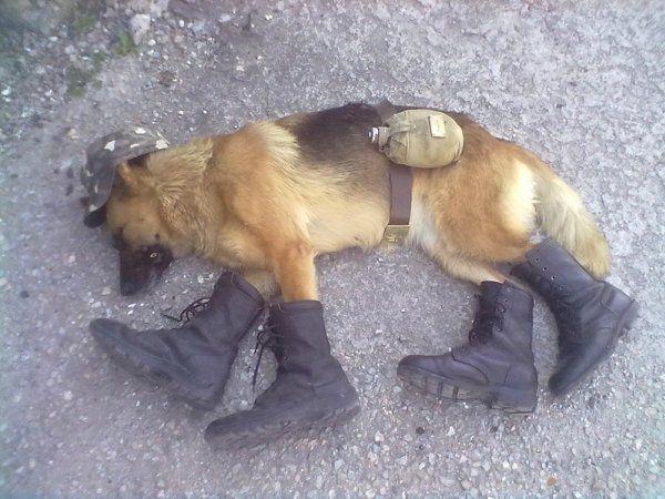Спляча собака після служби