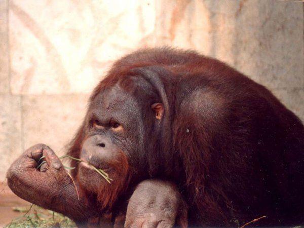 Орангутанг для «ВКонтакте» - «А ваша думка мені не цікаво»